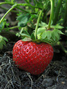 Strawberry, First Strawberry, Fruit, Red, Delicious