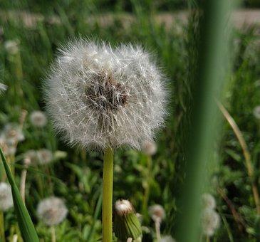 Taraxacum, Dandelion, Coltsfoot, Fluffy Hairs