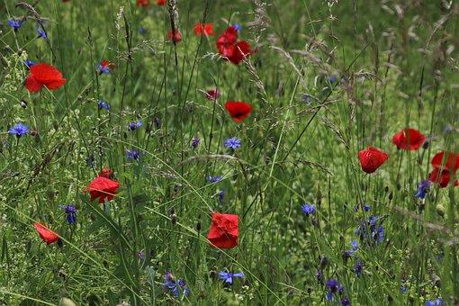 Meadows, Poppies, Cornflowers, Wild Flowers, The Idyll