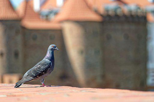 Pigeon, Bird, Wall, Building, Castle, Historic