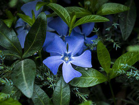 Blue, Flower, Flowers, Background, White, Stand-alone
