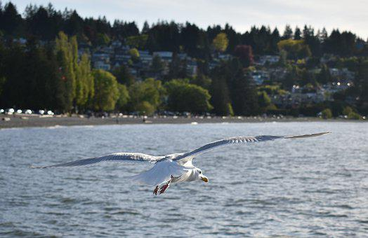 Freedom, Seagull, Flying, Bird, Nature, Wings, Wildlife