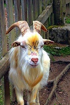 Goat, Farm, Livestock, Agriculture, Mammals, Animals