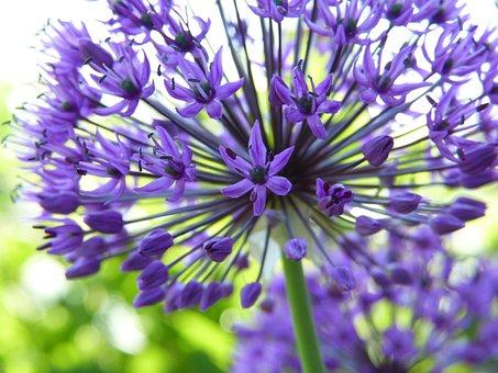 Ornamental Onion, Allium, Lilies, Garden, Plant