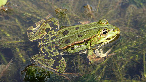 Frog, Amphibian, Green, Pond, Animal