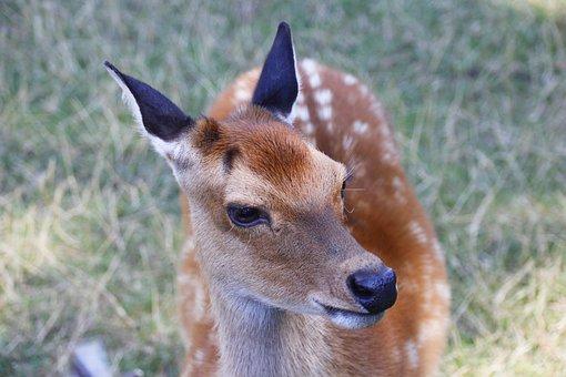 Roe Deer, Animal, Nature, Fallow Deer, Mammal