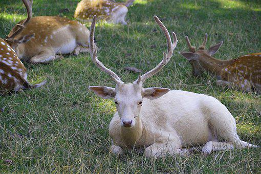 Hirsch, Animal, White, Nature, Animal World, Antler