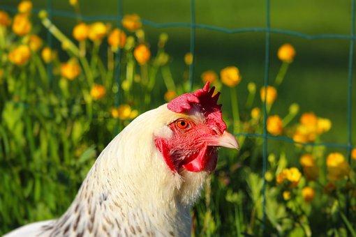 Hens, Hen, Animals, Animal, Hens Laying, Hens Sussex