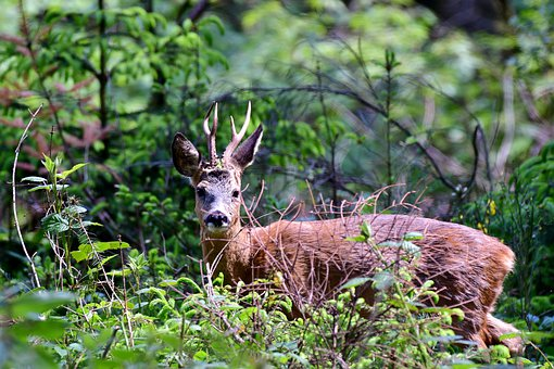 Ree, Wild, Nature, Animals, Animal, Forest, Luxembourg