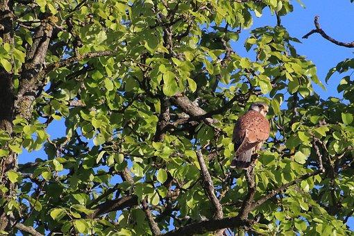 Raptor, Falcon, Bird Of Prey, Feather, Tree