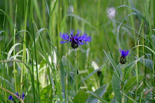 Cornflowers, Blue, Nature, Flowers, Meadow, Bloom