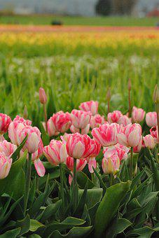 May Flowers, Tulip, Tulips, May, Spring, Bloom