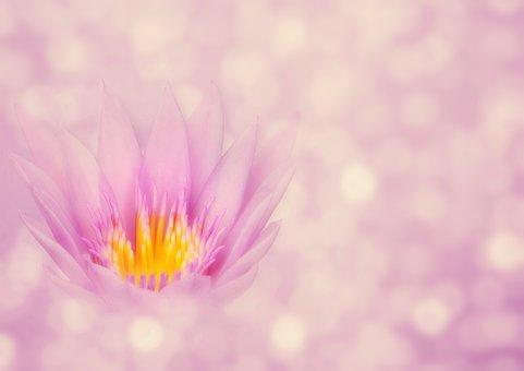Lotus, Flower, Bokeh, Lotus Blossom, Zen, Nature, Pink