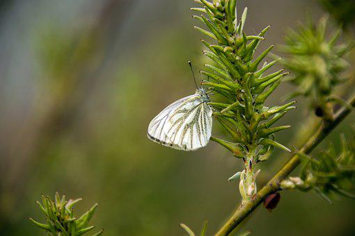 Butterfly, Cabbage White, Willow, Pieris Write, Pieris