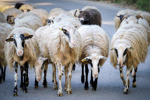 Sheep, Flock Of Sheep, Road, Crete, Greece, Animals