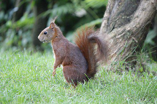 Squirrel, Animal, Nature, Rodent, Cute, Furry, Tail