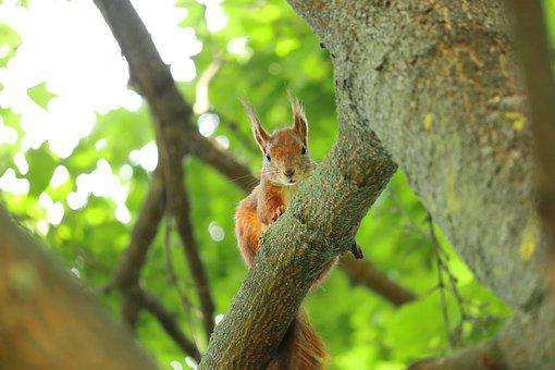 Squirrel, Cute Squirrel, Fat Squirrel, Red Squirrel