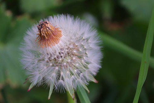 Dandelion, Individually, Faded, Nature, Flower, Plant