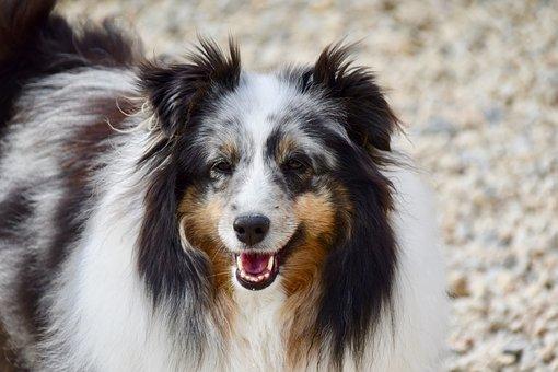 Dog, Dog Berger Shetland, Companion, Color Blue Merle