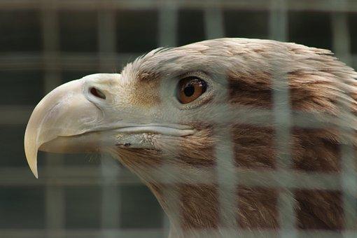 Eagle In A Cage, Eagle, In Captivity, Zoo, Beak