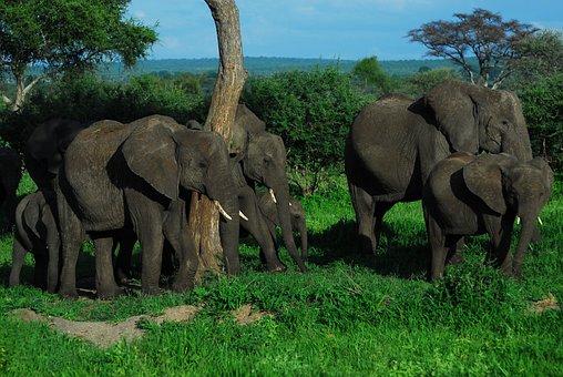 Family, Elephants, Elephant, Africa, Nature, Safari