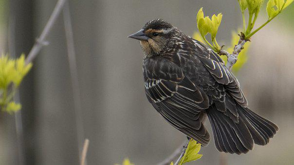 Nest Building Time, Feather, Female Redwing Blackbird