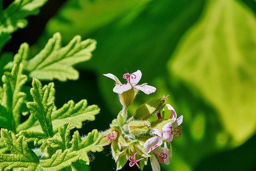 Geranium Lemon, Flower, Garden, Plant, Petals