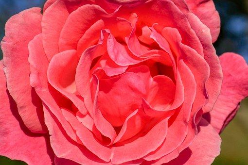 Rose, Blossom, Bloom, Flower, Rose Bloom, Love, Nature