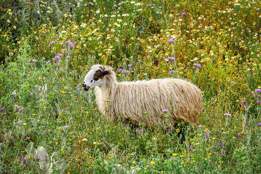 Sheep, Flower Meadow, Graze, Nature, Grass, Eat, Meadow