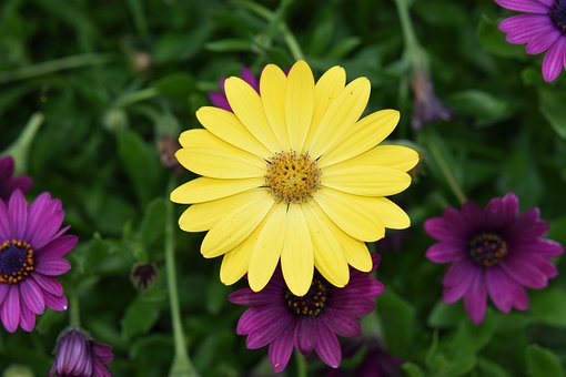Flower, Flower Color Yellow, Yellow Daisy, Petals