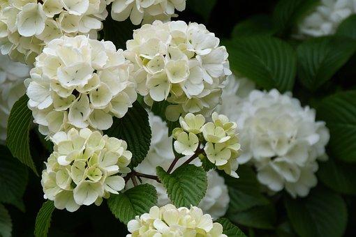 White, Flower, Spring, Viburnum Opulus, Garden, Shapely