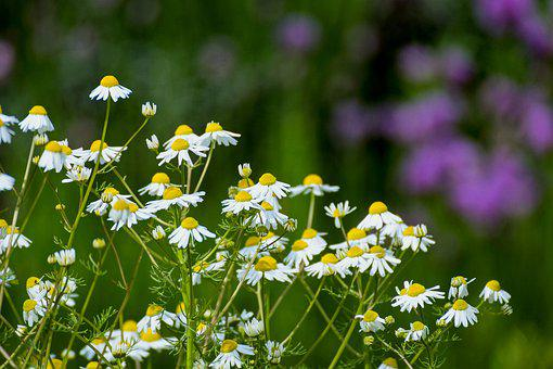 Chamomile, Flowers, Naturopathy, Medicinal Plant