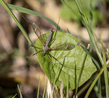 Cranefly, Insect, Wings, Veins, Fly, Tipulidae, Nature