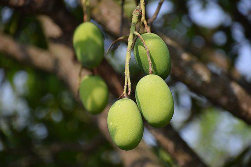 Mangoes, Raw, Healthy, Nutritious, Fruits, Greenery