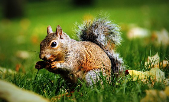 Squirrel, Animal, Rodent, Nature, Cute, Nager, Fur