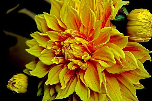 Dahlia, Flower, Nature, Flora, Yellow, Gardens, Summer