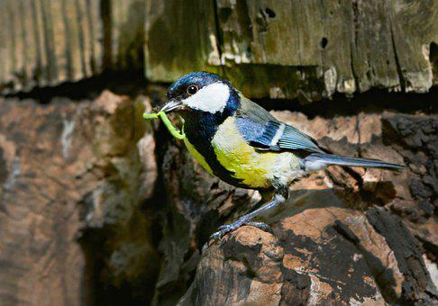 Great Tit, Song Bird, Animal, Feather, Plumage, Beak
