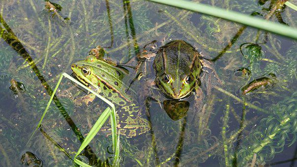 Frogs, Amphibians, Green, Pond, Animals