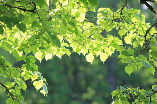 Leaves, Greens, Tree, Sheet, Nature, Foliage, Sun