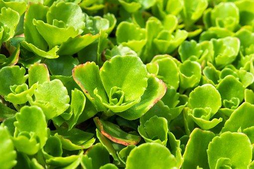 Stonecrop, Carpet Stonecrop, Ground Cover, Garden Plant
