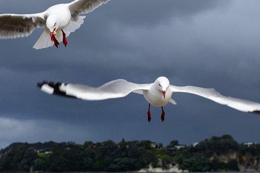 Newzealand, Seagull, Whitianga, Gull, Animal, Flight