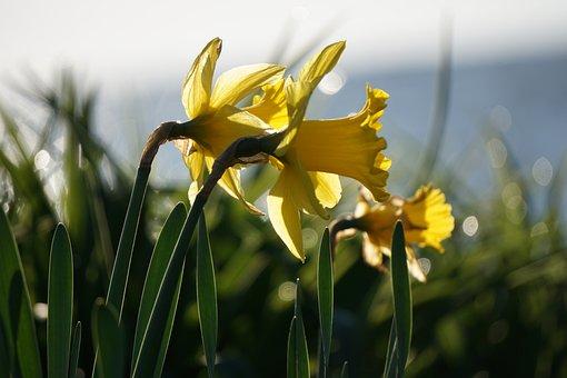 Daylily, Yellow Flower, Perennial, Hemerocallis, Lake