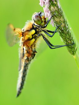 Dragonfly, Four Patch, Four-spotted Dragonfly, Insect
