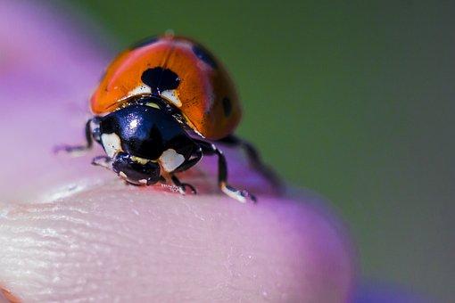 Ladybug, Finger, Macro, Insect, Hand, Beetle, Points