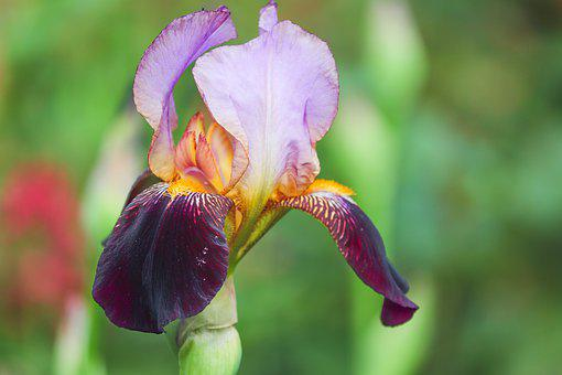 Lilies, Black Blue, Orange, Lilium, Iris, Blue, Violet