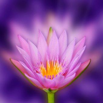 Lotus, Flower, Bokeh, Lotus Blossom, Light Beam, Zen