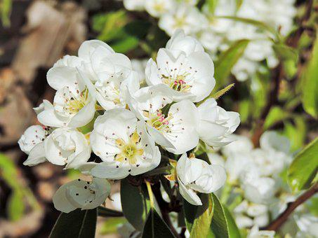 Flowers, Nature, Pear, Pear Blossom, Spring, Fruit Tree