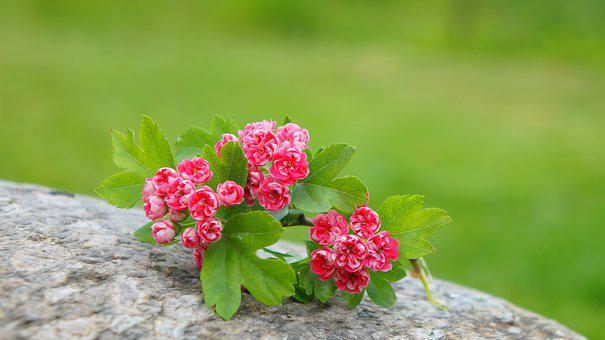 Nature, Plants, Pink, Flowers, Stone, Flourishing