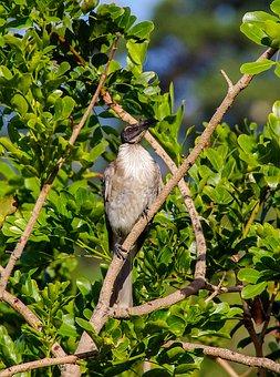 Bird, Noisy Friarbird, Philemon Argenticeps, Wild