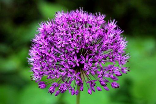 Allium Purple Sensation, Ornamental Onion, Purple